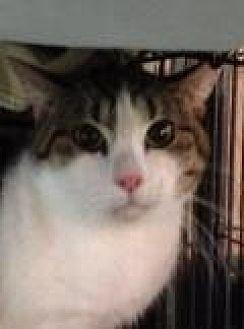 Domestic Shorthair Cat for adoption in Porter, Texas - Mario