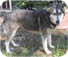 Siberian Husky Mix Dog for adoption in Houston, Texas - Kiara