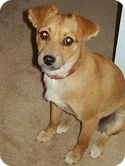 Jack Russell Terrier/Pomeranian Mix Dog for adoption in Tehachapi, California - Afton