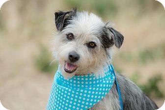 Dandie Dinmont Terrier/Maltese Mix Dog for adoption in Corona, California - Britney