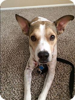Labrador Retriever/Cattle Dog Mix Dog for adoption in Phoenix, Arizona - Danta
