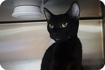 Domestic Shorthair Cat for adoption in Elyria, Ohio - Lilly
