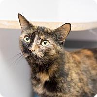 Adopt A Pet :: Shadi - Fountain Hills, AZ