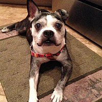 Boston Terrier Dog for adoption in Lake Mary, Florida - Rocco Elder