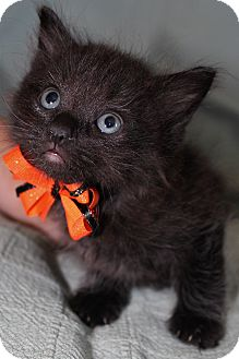 Domestic Mediumhair Kitten for adoption in Jefferson, North Carolina - Shadow
