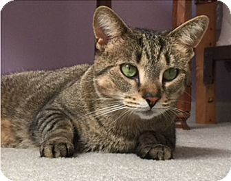 Domestic Shorthair Cat for adoption in Mount Clemens, Michigan - Beauty