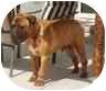Bullmastiff Dog for adoption in Ladera Ranch, California - CAPONE