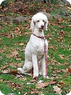 Poodle (Standard) Mix Dog for adoption in New Oxford, Pennsylvania - Dalton