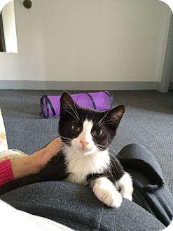 Domestic Mediumhair Kitten for adoption in Avon, New York - Marvelous Marv