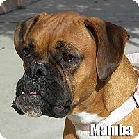 Adopt A Pet :: Mamba - Encino, CA