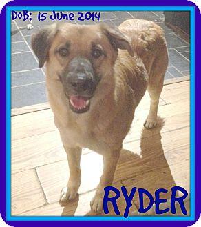 German Shepherd Dog/Golden Retriever Mix Dog for adoption in Mount Royal, Quebec - RYDER