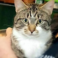 American Shorthair Cat for adoption in Braidwood, Illinois - Gage