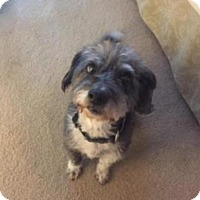Standard Schnauzer/Standard Schnauzer Mix Dog for adoption in Spring, Texas - Hardy Boy