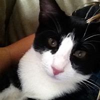 Domestic Mediumhair Cat for adoption in Roseville, California - Monkey