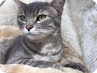 American Shorthair Cat for adoption in Pasadena, California - Belle