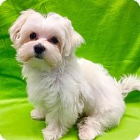 Adopt A Pet :: Puppy Harvey - Encino, CA