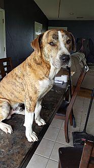 American Bulldog/Labrador Retriever Mix Dog for adoption in Warrensburg, Missouri - Kroll
