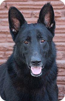 German Shepherd Dog Mix Dog for adoption in Los Angeles, California - Black Jack von Blaustein