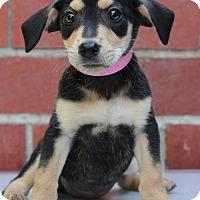 Adopt A Pet :: Darla II - Waldorf, MD
