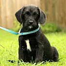 Adopt A Pet :: PUPPY MOLLY PEARL