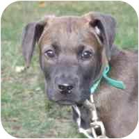Boxer/Labrador Retriever Mix Puppy for adoption in Coleraine, Minnesota - Choco