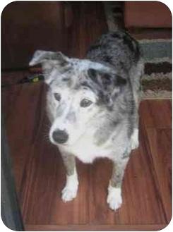 Australian Shepherd Dog for adoption in Orlando, Florida - Nellie