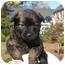 Photo 1 - Shih Tzu Mix Puppy for adoption in Marietta, Georgia - Bono