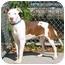 Photo 1 - American Staffordshire Terrier/Pit Bull Terrier Mix Dog for adoption in Austin, Minnesota - Geisha