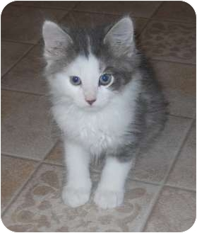 Domestic Longhair Kitten for adoption in DeKalb, Illinois - Thatcher