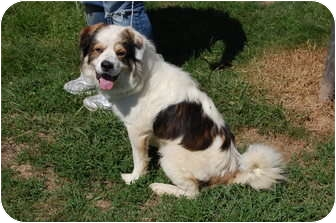 Collie Mix Dog for adoption in North Judson, Indiana - Syd