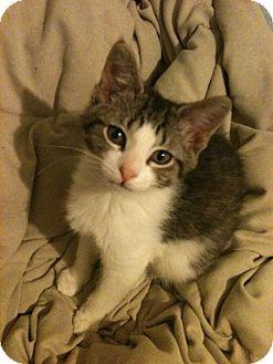 Domestic Shorthair Kitten for adoption in Sterling Hgts, Michigan - Ivan