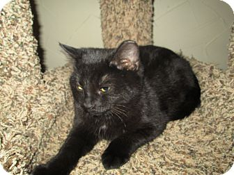 Domestic Shorthair Kitten for adoption in Richland, Michigan - Moon