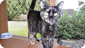 Domestic Shorthair Cat for adoption in Seattle, Washington - Mercer