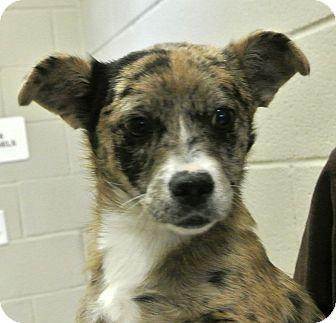 Cardigan Welsh Corgi/Dachshund Mix Puppy for adoption in white settlment, Texas - Winnie