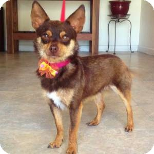 Chihuahua Mix Dog for adoption in Redondo Beach, California - Bandito