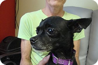 Chihuahua Mix Dog for adoption in Philadelphia, Pennsylvania - Sukie
