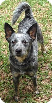 Blue Heeler Mix Dog for adoption in Glenburn, Maine - Allie-adoption in progress