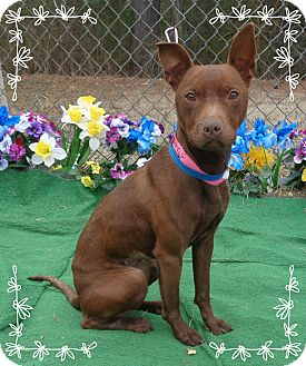 Manchester Terrier Mix Dog for adoption in Marietta, Georgia - JULIET-small and quiet
