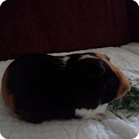 Adopt A Pet :: Jacob - San Antonio, TX