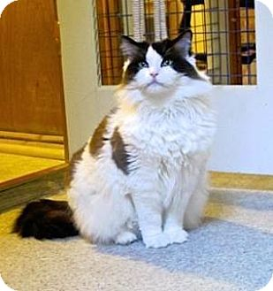 Ragdoll Cat for adoption in Davis, California - Gorgeous George