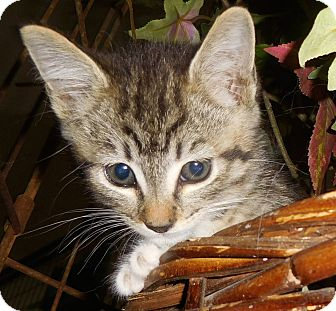 Domestic Shorthair Kitten for adoption in Tracy, California - Ira-ADOPTED!