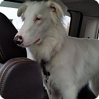 Adopt A Pet :: Willow - DEAF - Pending Adopt - Post Falls, ID