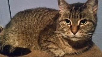 Domestic Shorthair Cat for adoption in Livonia, Michigan - Mindy