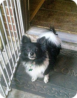 Pomeranian Dog for adoption in conroe, Texas - Junior