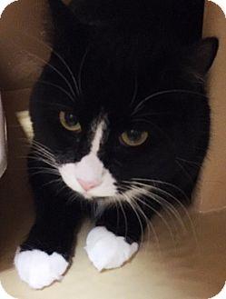 Domestic Mediumhair Cat for adoption in Statesville, North Carolina - Grant
