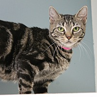 Domestic Shorthair Cat for adoption in Medina, Ohio - Macy Rae