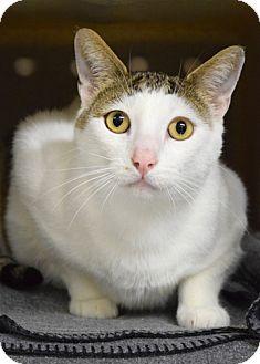 Domestic Shorthair Cat for adoption in Dublin, California - Mickey