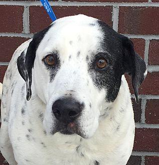 Dalmatian/Labrador Retriever Mix Dog for adoption in Mount Pleasant, South Carolina - Drake