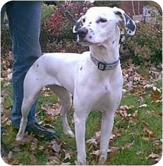 Dalmatian Dog for adoption in Steger, Illinois - Hannah