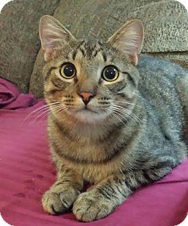 Domestic Shorthair Cat for adoption in Orlando, Florida - Cody